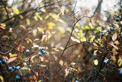 Blueberries in fall