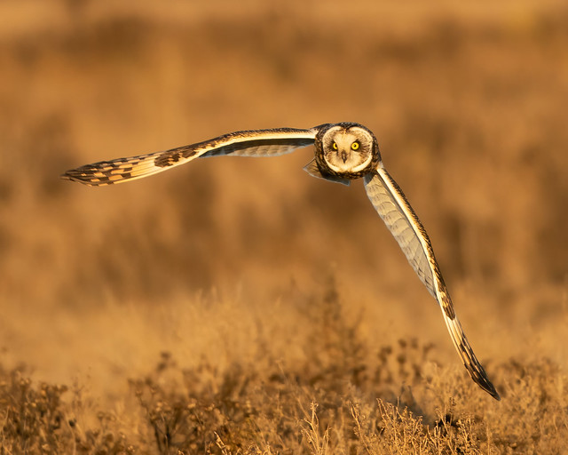 Short Eared Owl at Golden Hour