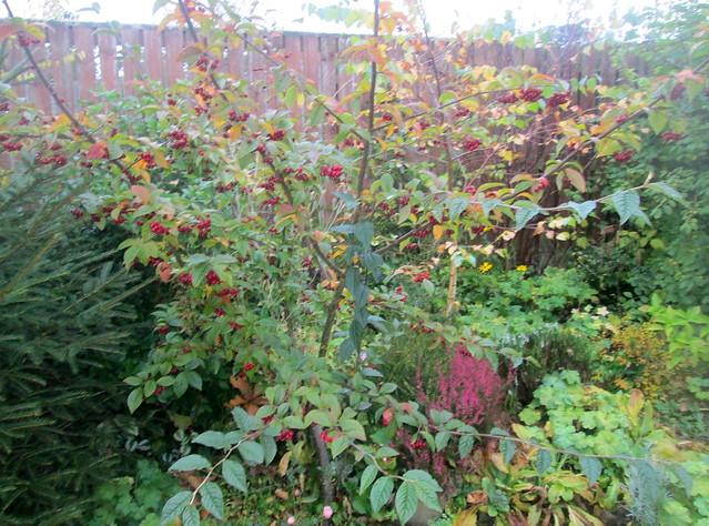 mystery tree, my garden