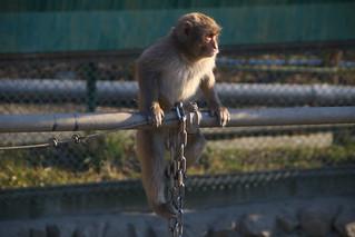 宝登山小動物公園サル