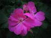 Geranio rosa chiaro. by lilianarigoni