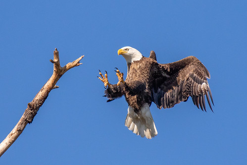 outdoor dennis adair sky nature wildlife 7dm2 7d ii ef100400mm ocean canon florida bird eagle flight