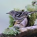 Mniotilta varia - Reinita trepadora Esta reinita migratoria se distingue de las demás reinitas por su particular forma de forrajear trepando troncos y ramas. Mniotilta significa que captura en el musgo y varia proviene del latin varius = jaspeado.