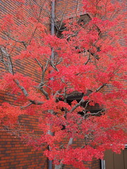 Maple tree and brick wall