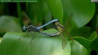 呂宋蜻蜓#Orthetrum luzonicum