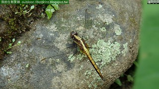 金黃蜻蜓#Orthetrum glaucum
