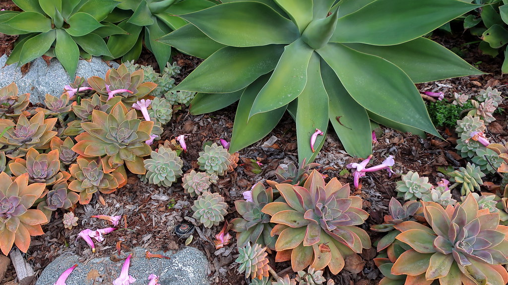 191115 157 Encinitas SD Botanic Gdn - Mexican Garden, Agave attenuata, x Graptoveria 'Fred Ives', Graptopetalum paraguayense, blossoms of Amphilophium 'Rivers'