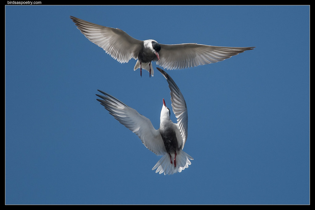 "Whiskered Tern: ""Not on My Watch You Don't"""