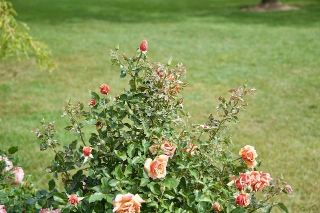 September Roses 5