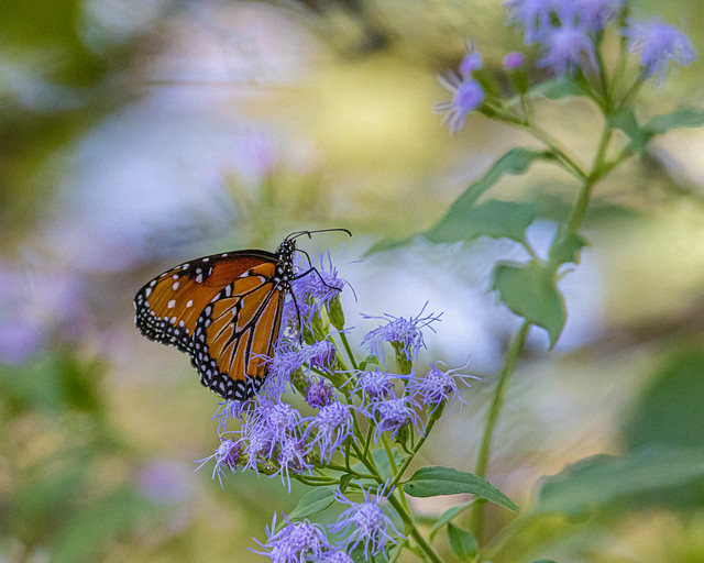 Blue mistflowers and queen butterfly