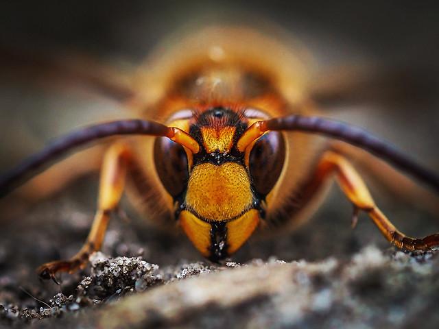 Hornet staredown