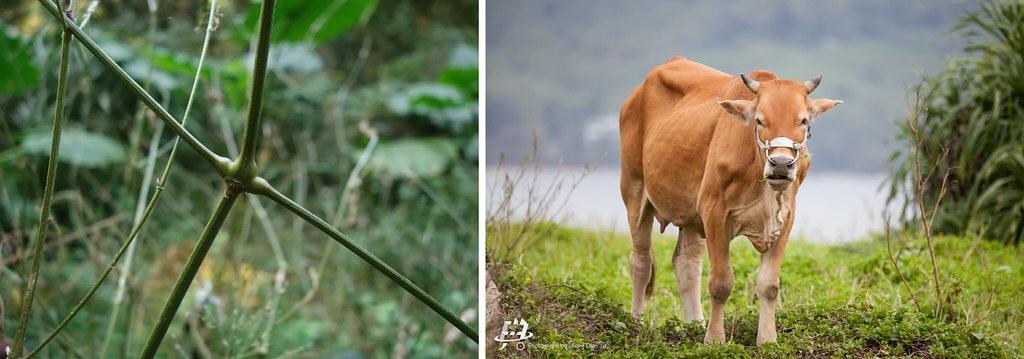 柳葉牛膝的膨脹莖節與黃牛膝關節的比較。