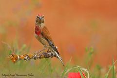 Pardillo común (Linaria cannabina)