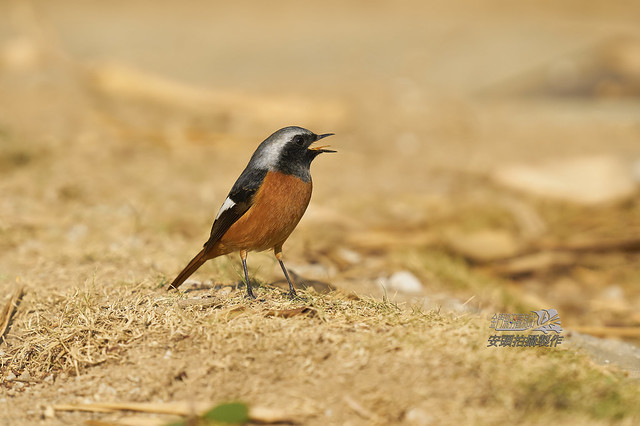 黃尾鴝公鳥