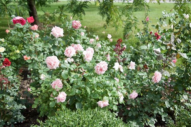 September Roses 4