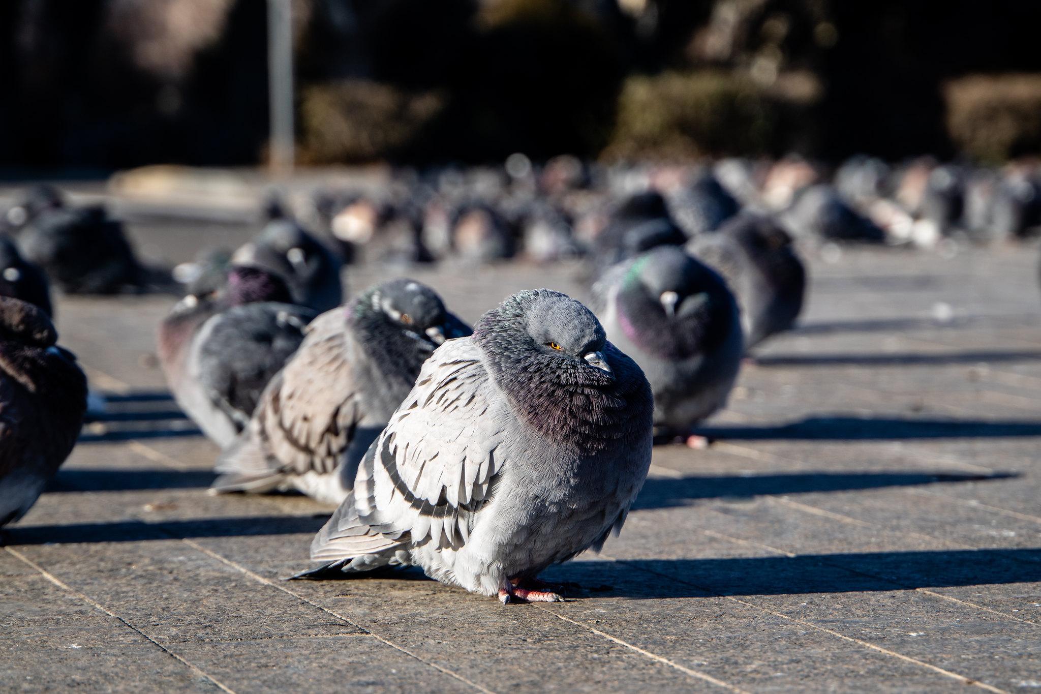 penguin_pigeons