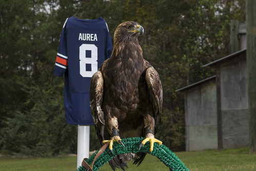 Golden eagle Aurea in front of a No. 8 jersey.