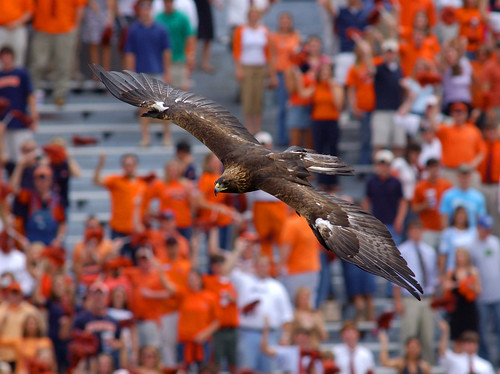 Golden eagle Nova soars above Jordan-Hare Stadium prior to being sidelined in 2017 with cardiomyopathy.