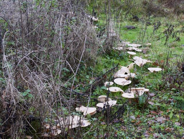 Mushroom ring on Frogmore Meadows NR