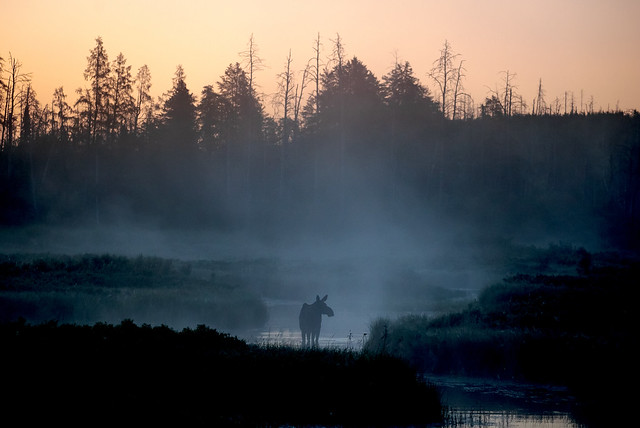 Moose in the early morning fog