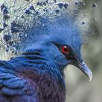 Star Crown Pigeon