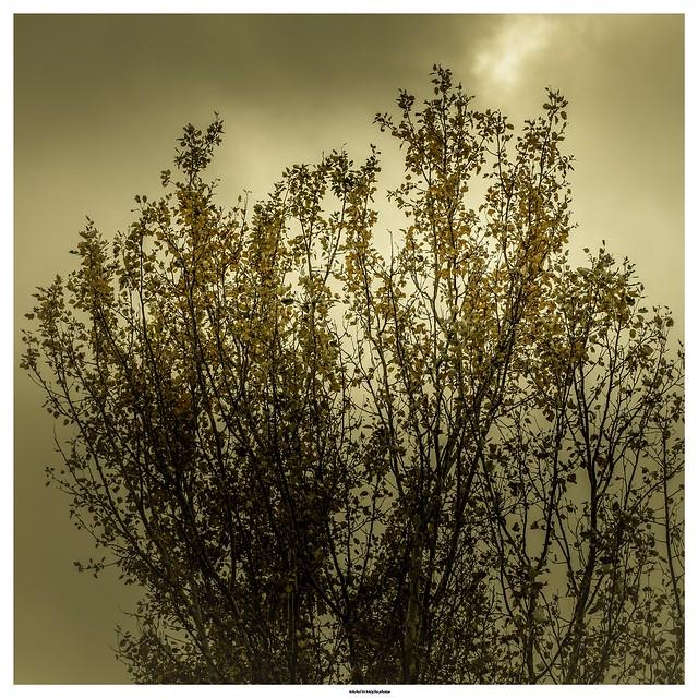 Les feuilles mortes .../ Autumn leaves ...