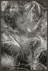 Blue Springs IR #31 2019; Palm Thicket in the Hardwood Hammock