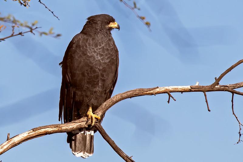 Common-Black-Hawk-27-7D2-101519