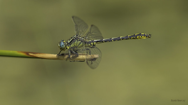 Gomphus graslinii. Adult male