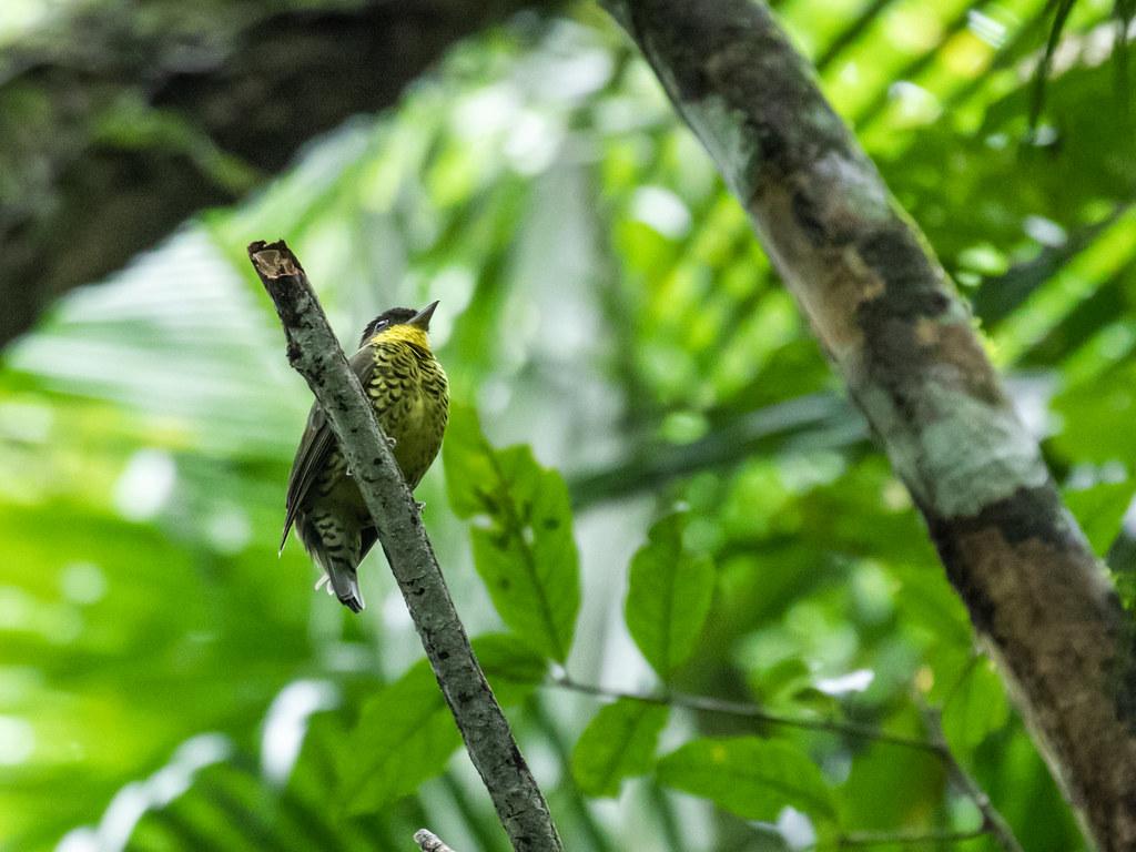 Shrike-like Cotinga