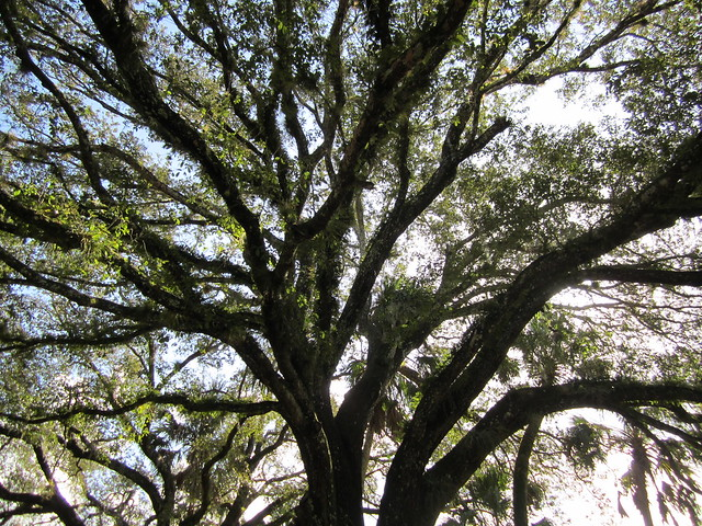 Quercus virginiana --  Southern Live Oak Tree
