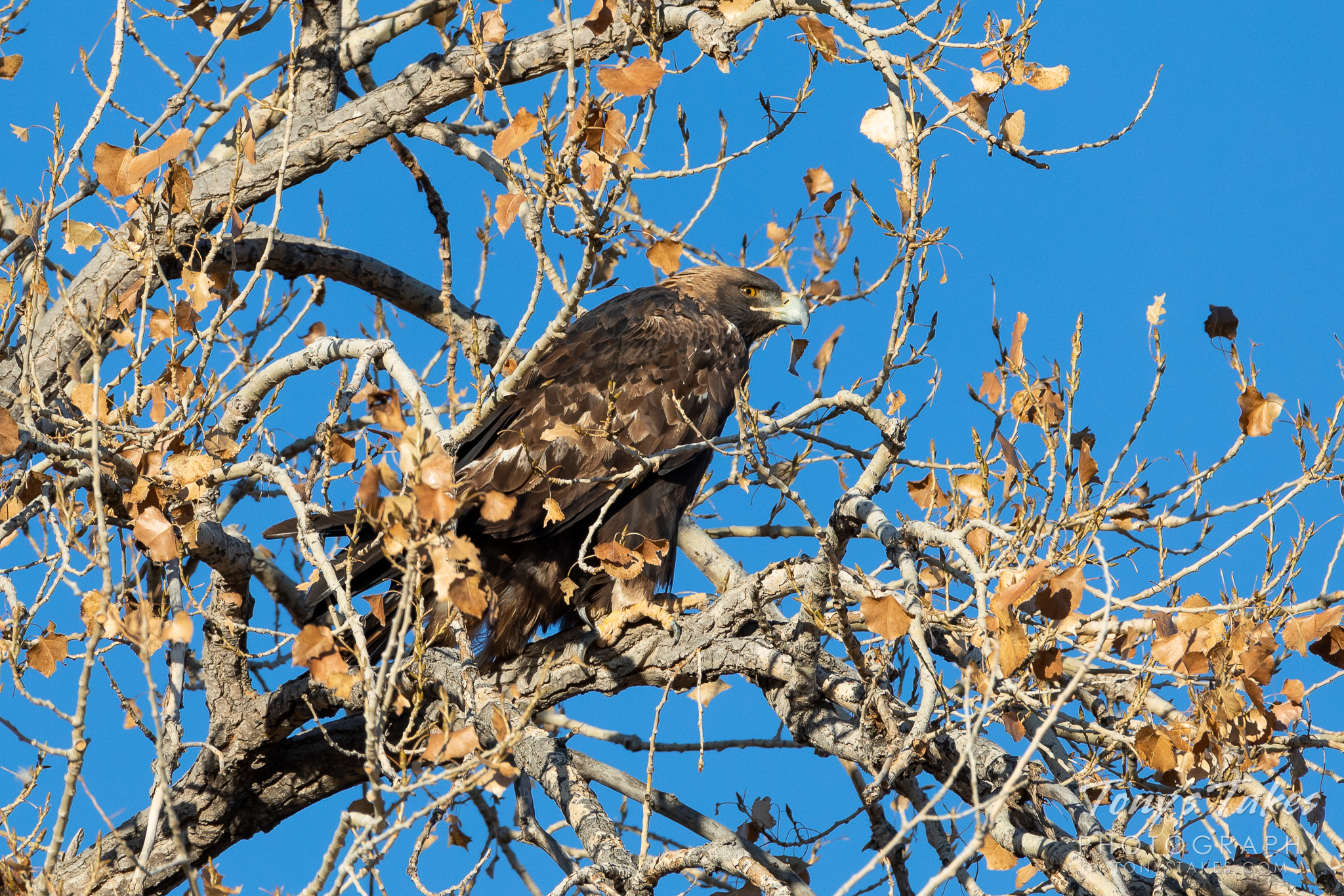 Gorgeous golden eagle returns to its winter roost