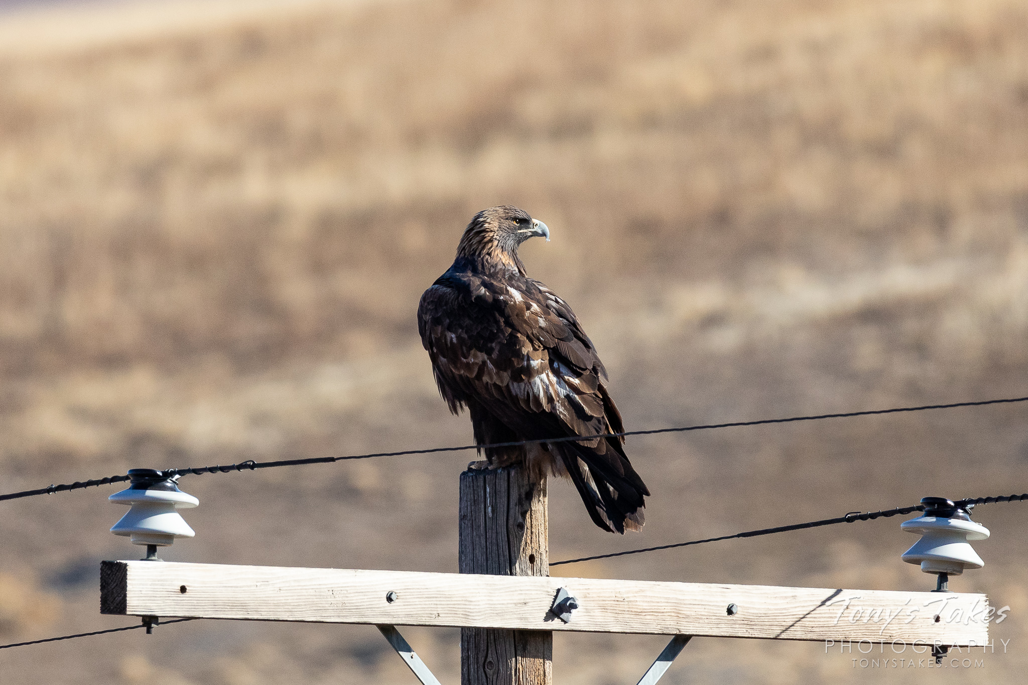A golden eagle keeps watch over a field in Boulder County, Colorado. (© Tony's Takes)