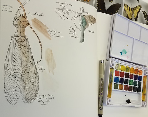 paper with ink drawing; a water color paint set and palette sits off to the right; the drawings are of a dobsonfly and a skipper