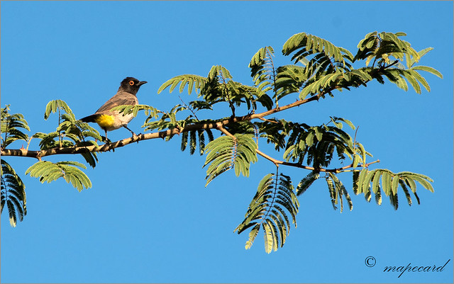 African Red eyed Bulbul (Pycnonotus nigricans).