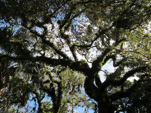 Quercus virginiana --  Southern Live Oak Tree