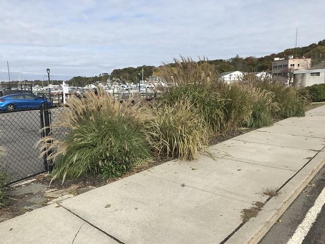 Landscaping grasses IMG_2408 - JU