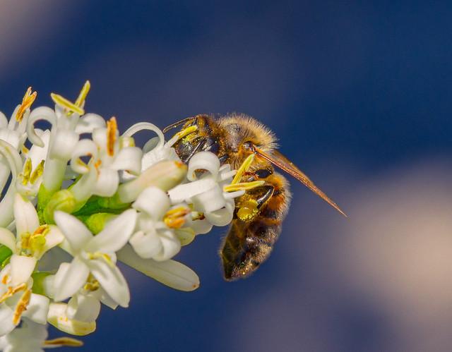 A face full of pollen  - European honey bee