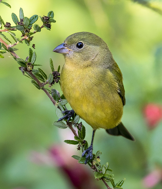 Female Painted Bunting - Passerina ciris, Fairchild Tropical Botanic Garden, Miami, Fl.