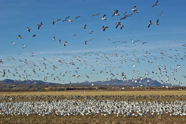 White geese (Snow and Ross's Gese) and Sandhill Cranes.  Bosque del Apache National Wildlife Refuge, New Mexico, USA.