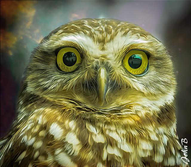 Chilean Burrowing Owl