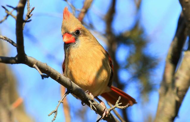 northern cardinal female at Cardinal Marsh IA 653A6697