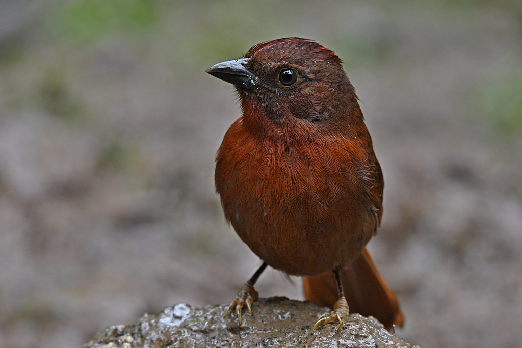 Red-crowned Ant-Tanager // Tiê-de-bando