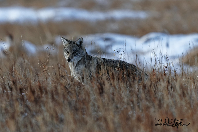 Coyote Hunts At  Dusk
