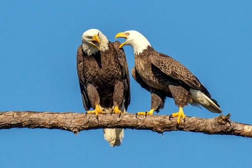 outdoor dennis adair nature wildlife 7dm2 7d ii ef100400mm canon florida bird