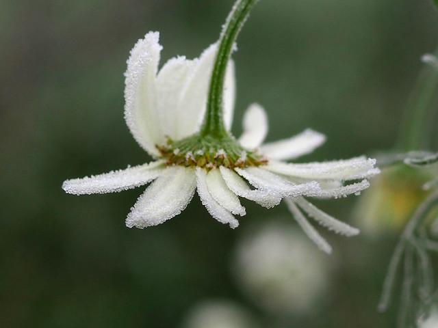 FROSTY WHITE FLOWER PB160096