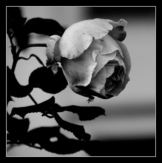 Róża B&W.