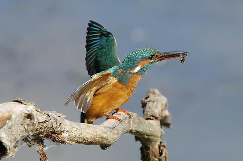 nature wild wildlife lackfordlakes suffolk bird kingfisher alcedoatthis waterboatman corixapunctata