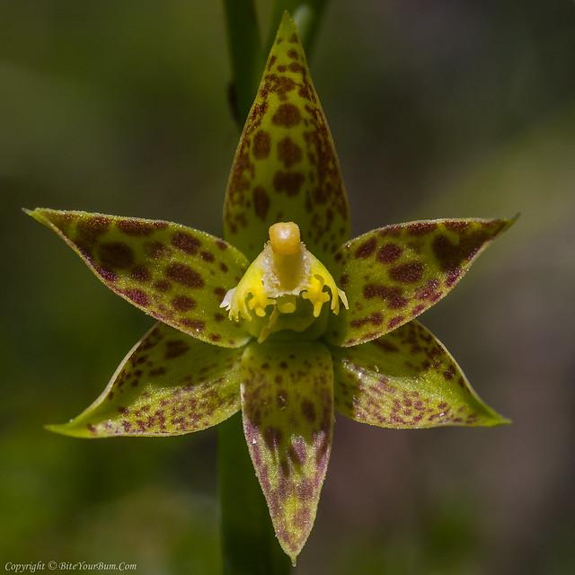 Leopard Orchid (Thelymitra benthamiana)