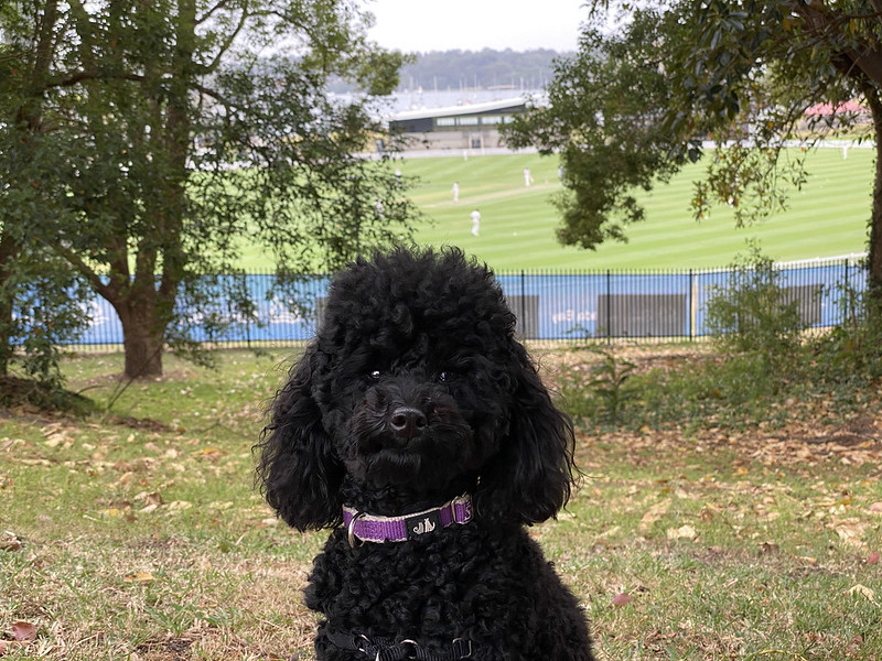 Watching cricket at Drummoyne Oval